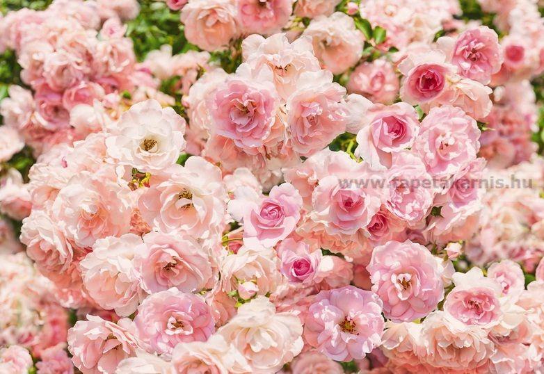 Rózsa poszter 8937