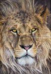 Poszter oroszlán 1-619.