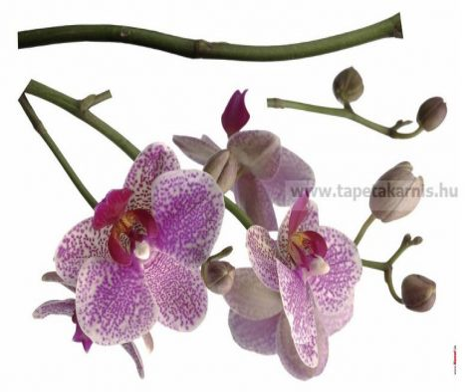 Orchideák falmatrica 17702.