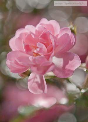 4-713. Rózsaszín poszter