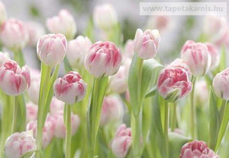 8-708. Poszter Tulipánok
