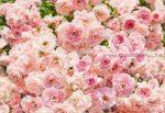 Rózsa poszter 8-937.