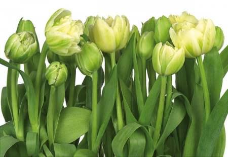 P8900 Zöld tulipánok.